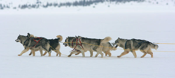 What Dog Sled Teams Can Teach Us About Leadership